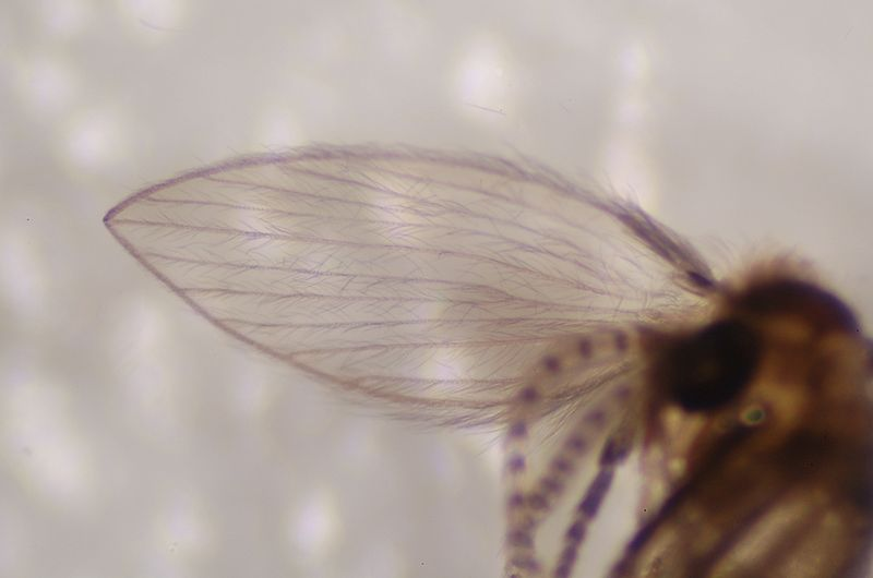 closeup of drain fly wing