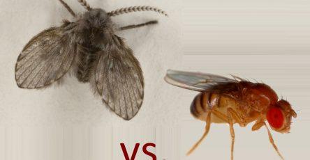 drain flies or fruit flies