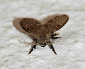 Drain fly also known as moth fly