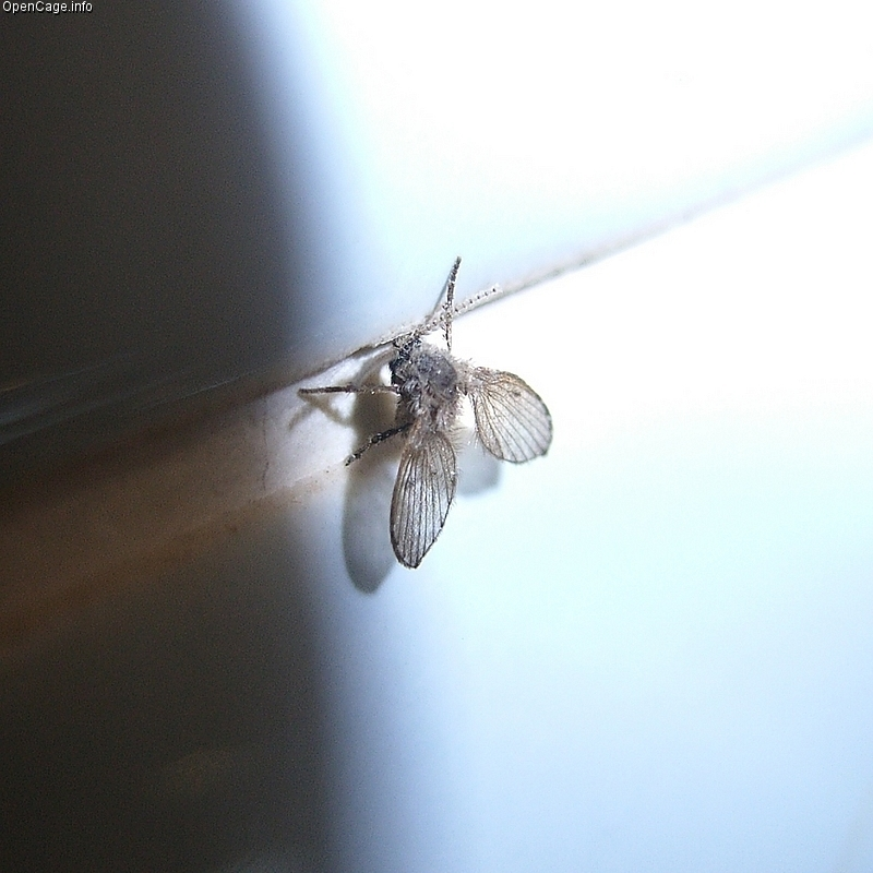 a drain fly on the wall