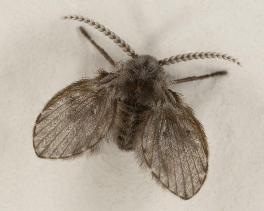 drain fly aka moth fly