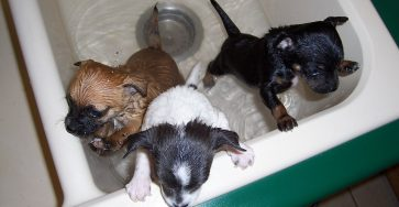 Dog puppies and drain