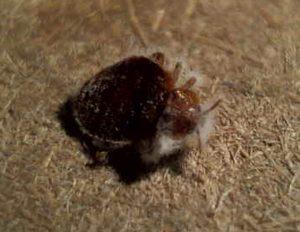 bed bug in carpet