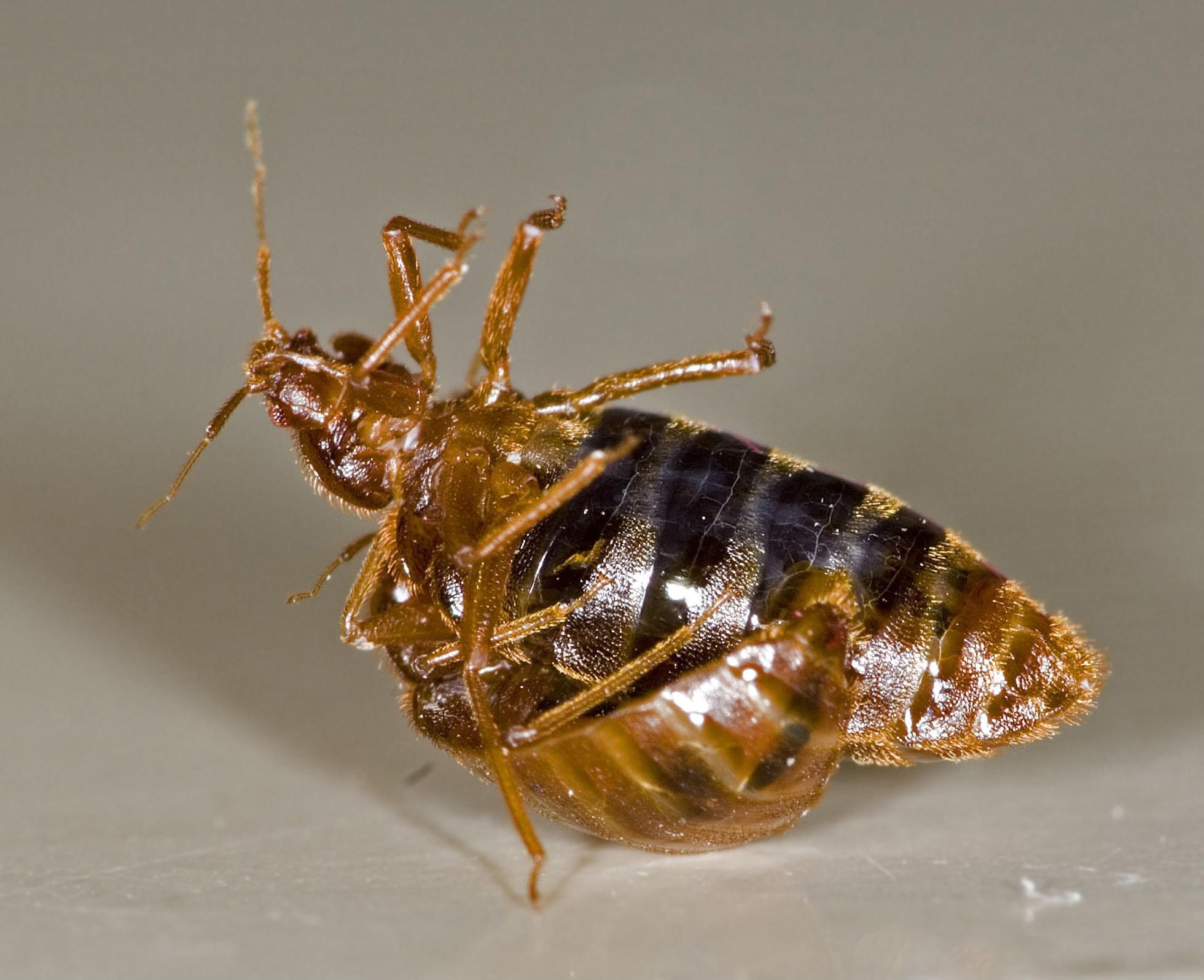 dead beg bug