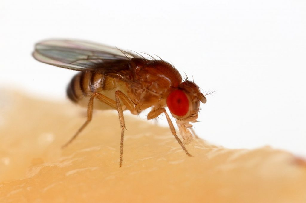 fruit fly close view