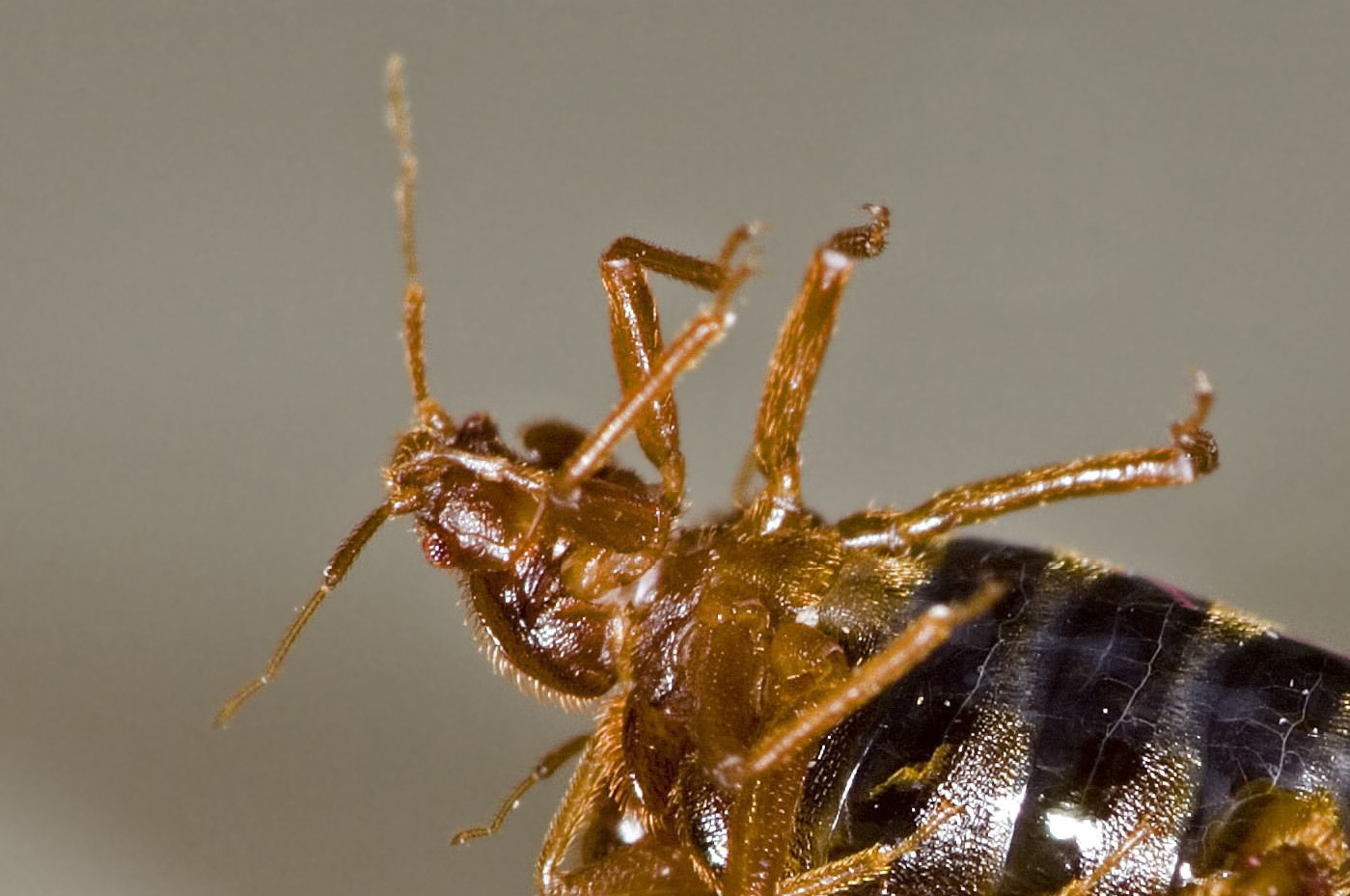 Do bed bugs fly or jump