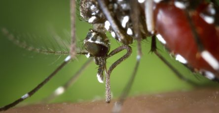 a mosquito's body full with blood