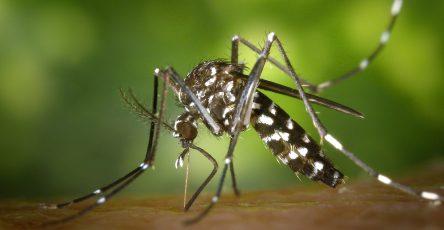 close view of female mosquito