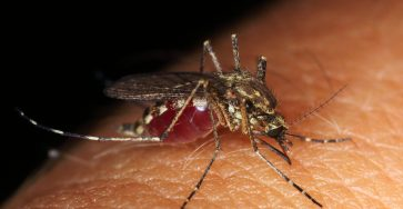 mosquito on human skin, while sucking blood